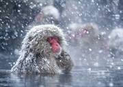 Snow monkey in the hot spring at the Jigokudani Monkey Park, Nagano © Kento Mori