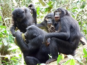African breadfruit (Treculia africana) sharing: a party is gathered around the owner (in this case, a male) © LuiKotale Bonobo Project / Barbara Fruth
