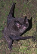 Lesser short-tailed bat © David Mudge