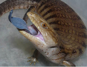 Bluetongue skink in a classic anti-predator display © Peter Street