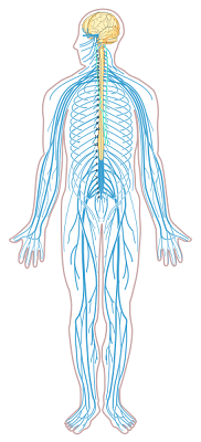 Nervous_system_diagram_unlabeled.svg